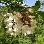 Acacia acanthaster