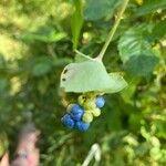 Persicaria perfoliata Frukt
