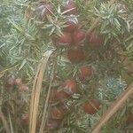 Juniperus oxycedrus Fruitua