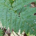 Dryopteris intermedia
