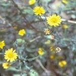Heterotheca grandiflora