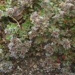 Polycarpaea latifolia