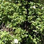Rosa coriifolia