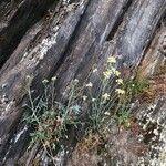 Descurainia millefolia