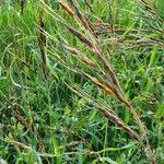 Sorghum purpureosericeum