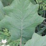 Solanum torvum Leaf