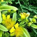 Hypericum kalmianum