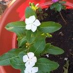 Catharanthus roseus Blomma