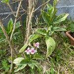 Pseuderanthemum carruthersii Levél