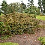 Rhododendron polycladum