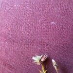 Minuartia graminifolia