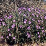 Erodium arborescens