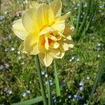 Narcissus spp.