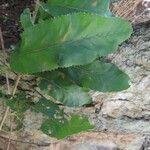 Pappea capensis List