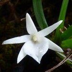 Angraecum borbonicum