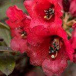 Rhododendron sanguineum