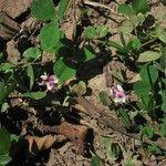 Trifolium amabile