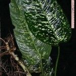 Dieffenbachia grayumiana