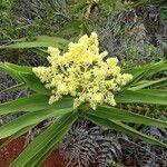 Flagellaria neocaledonica Blomma