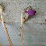 Aeginetia sinensis