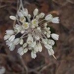 Allium paniculatum