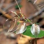 Acianthus macroglossus