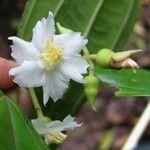 Conostegia tenuifolia