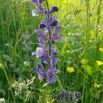 Salvia pratensis Flower