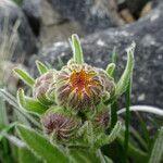 Senecio rhizomatus