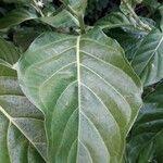 Morinda citrifolia Leaf
