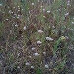 Lagurus ovatus Pflanze