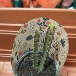 Euphorbia heterochroma Leaf