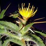 Centaurea maroccana