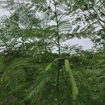 Leucaena leucocephala Fruto