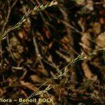 Bufonia tuberculata