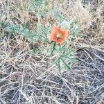 Sphaeralcea rusbyi