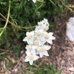 Achillea erba-rotta