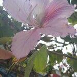 Bauhinia variegata Flor