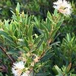 Syzygium pondoense