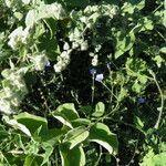 Jacquemontia agrestis