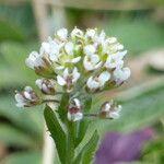 Lepidium heterophyllum