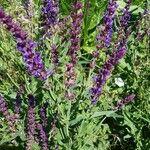 Salvia officinalis Flower