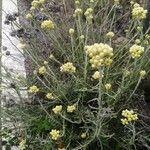 Helichrysum rupestre