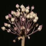 Allium atroviolaceum x Allium polyanthum