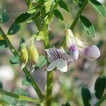 Vicia ervilia