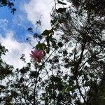 Passiflora tripartita Flor