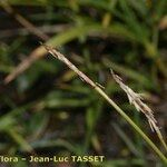 Carex davalliana