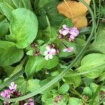 Fedia graciliflora