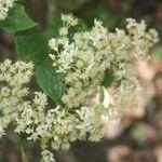 Chamaecrista diphylla