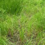 Carex atherodes